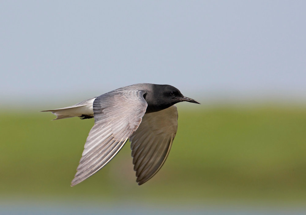 Adult spring Black Tern