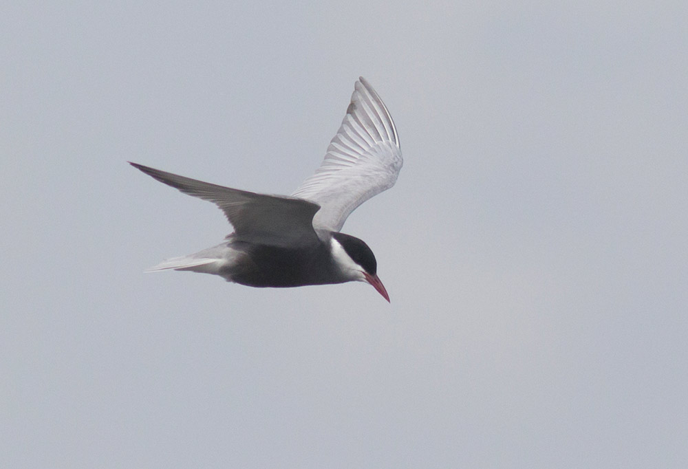 Adult spring Whiskered Tern