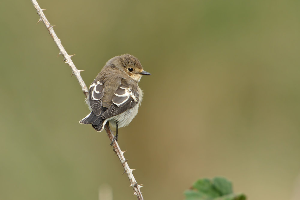 Typical autumn Pied Flycatcher