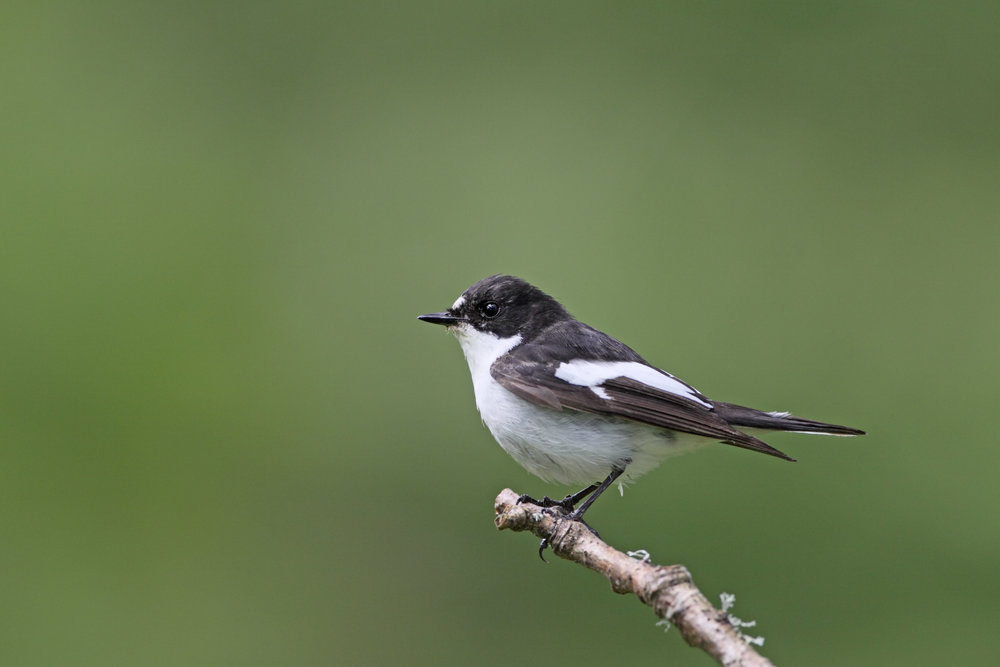 Summer male Pied Flycatcher