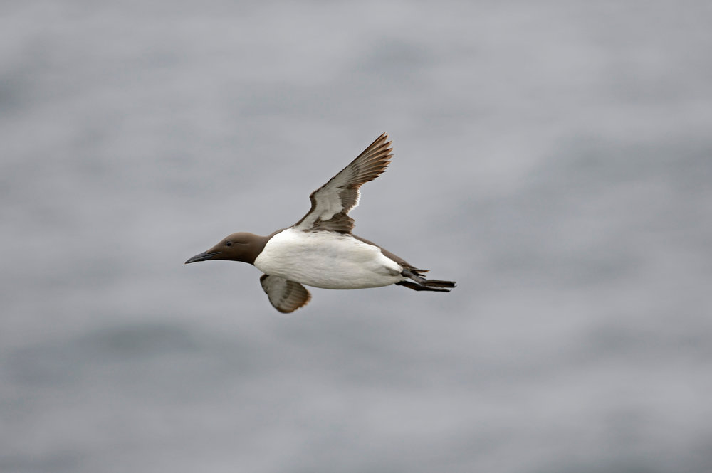 Summer Guillemot in flight