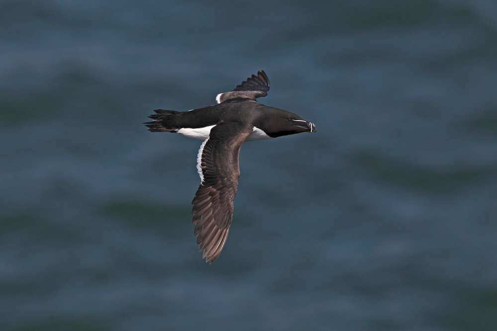Summer Razorbill in flight