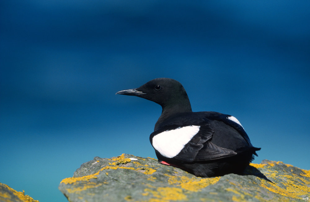 Breeding Black Guillemot
