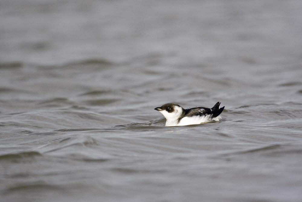 Winter Little Auk