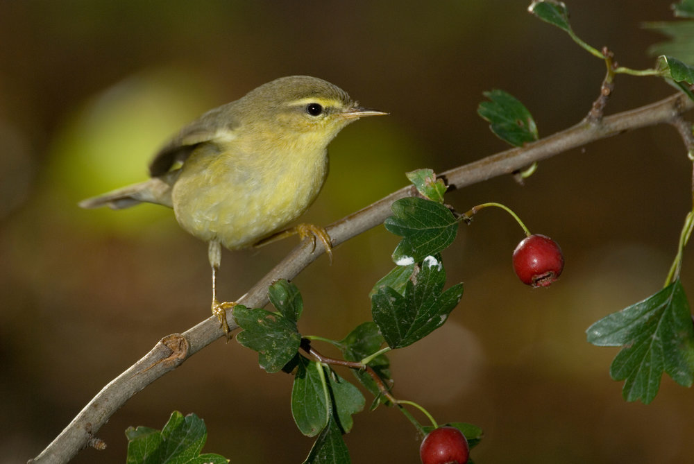 Autumn Willow Warbler