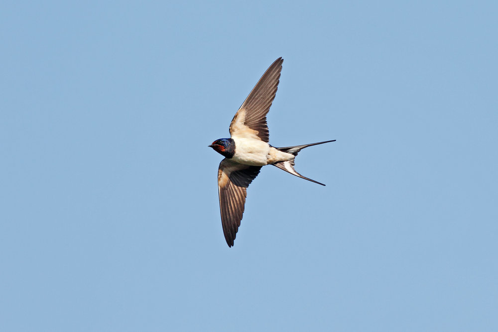 Swallow underside