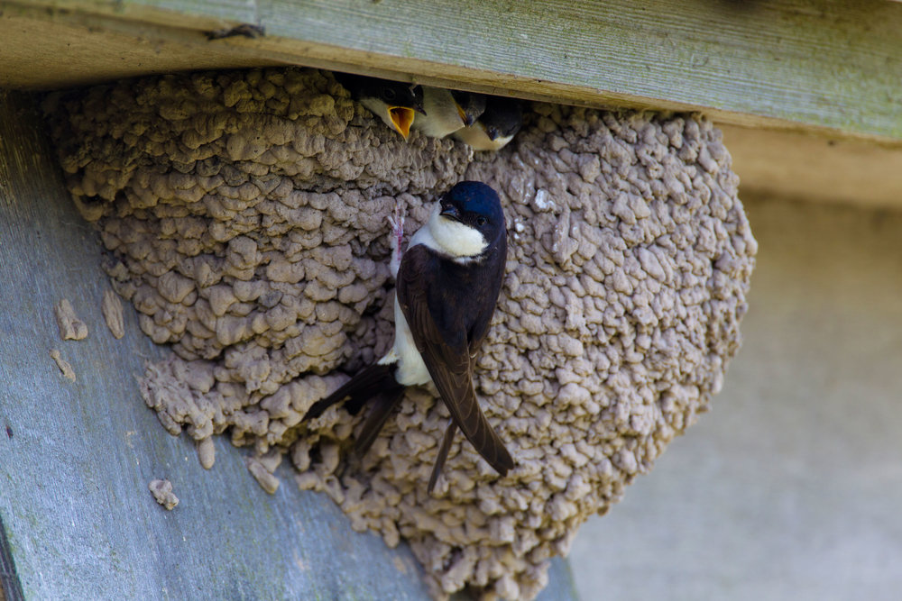 Typical House Martin nest