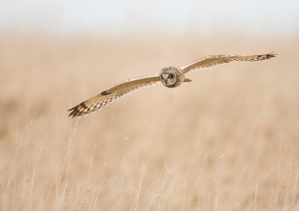 Short-eared Owl hunting by day