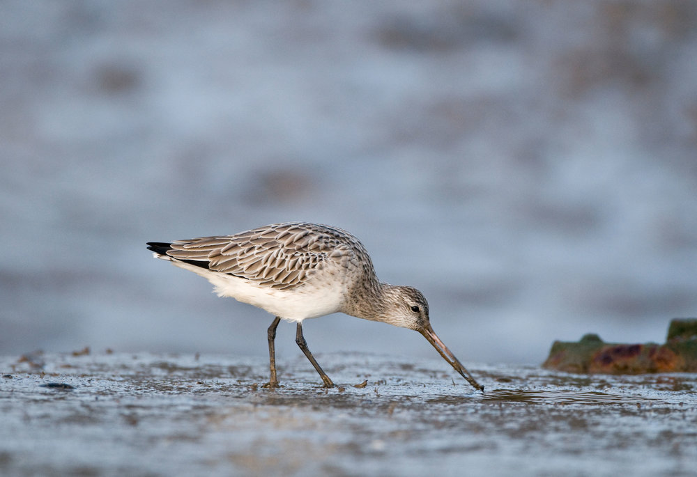 Winter Bar-tailed Godwit