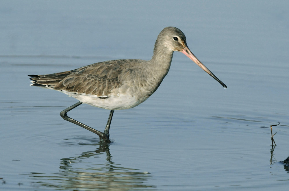 Winter Black-tailed Godwit
