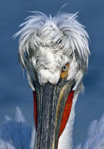 Dalmatian Pelican.jpg