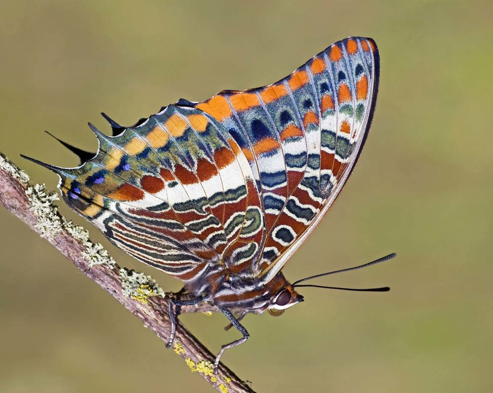 Two-tailed Pasha.jpg