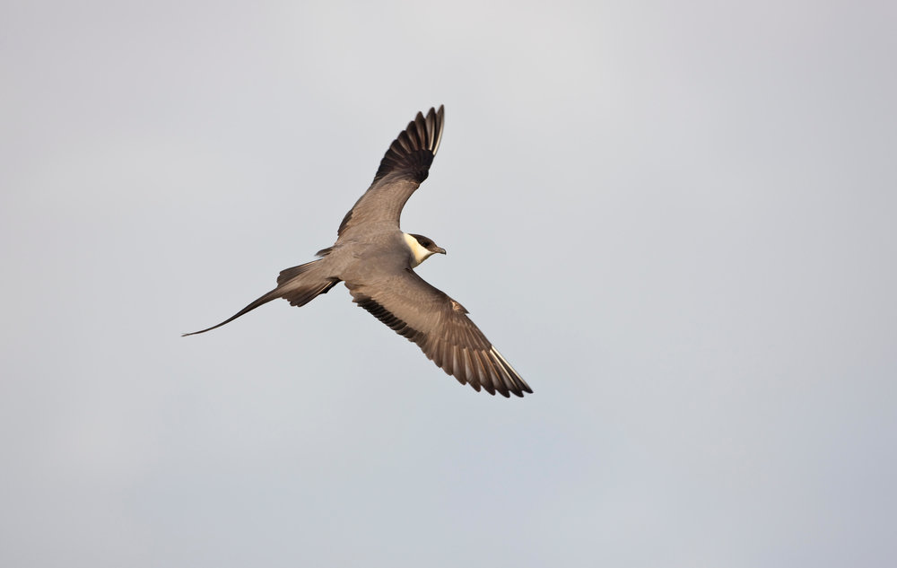Long-tailed Skua,  adult