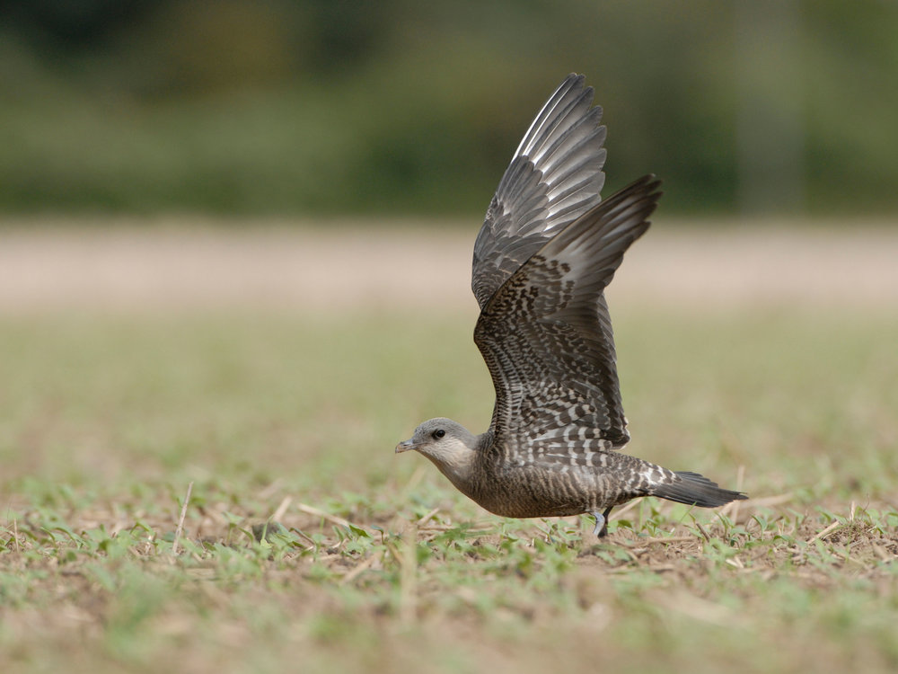 Long-tailed Skua, intermediate morph juvenile