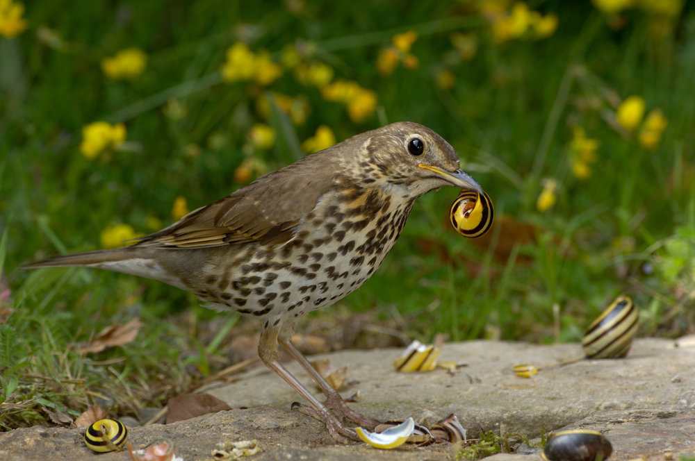 Song Thrush smashing snails