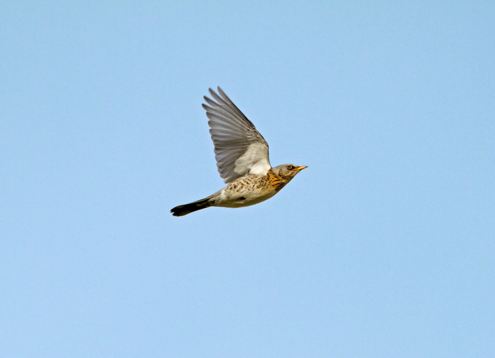 Flying Fieldfare