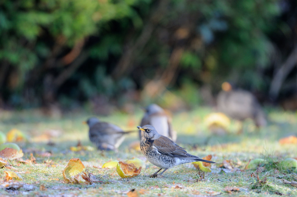 Fieldfares feeding on fallen apples