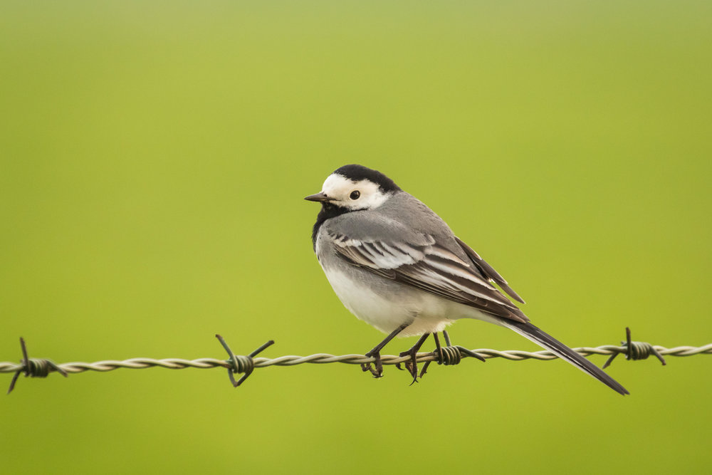 White Wagtail, female
