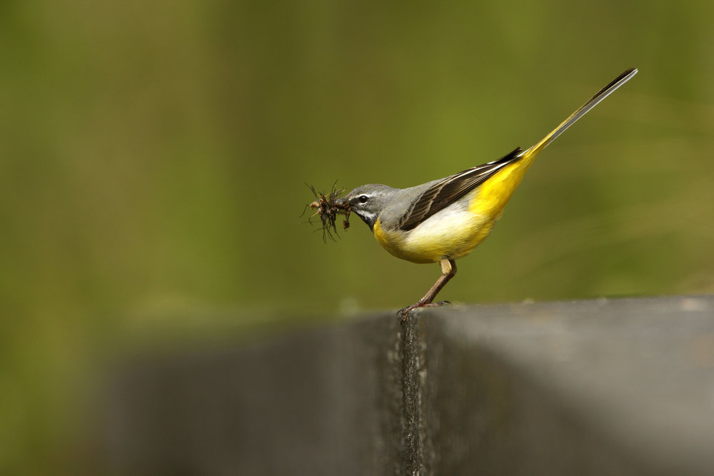 Grey Wagtail, male