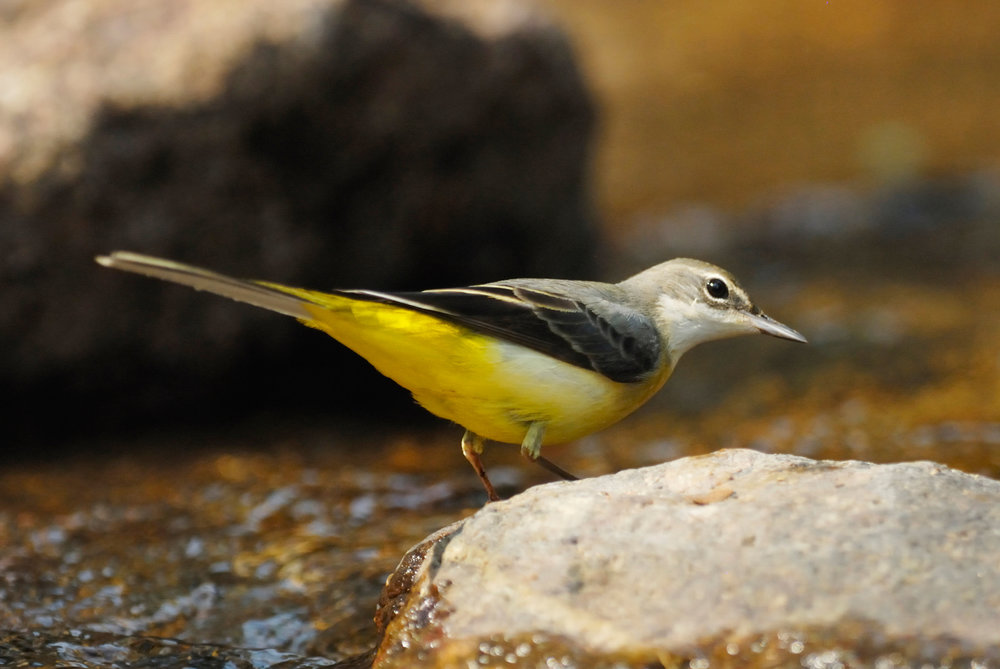 Grey Wagtail, female or first-winter
