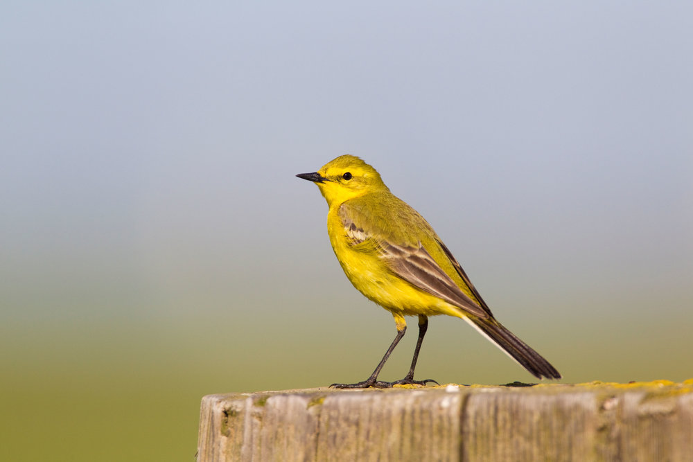 Yellow Wagtail, male