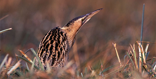 Bittern by David Tipling Photo Library / Alamy