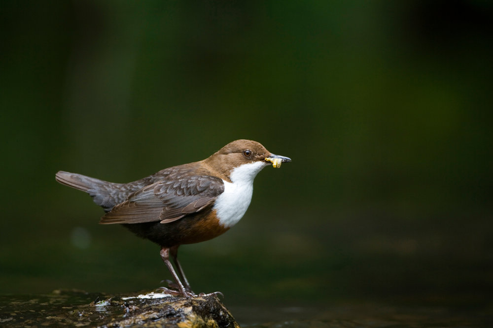 Adult Dipper (note chestnut at base of white breast, which is characteristic of UK resident birds