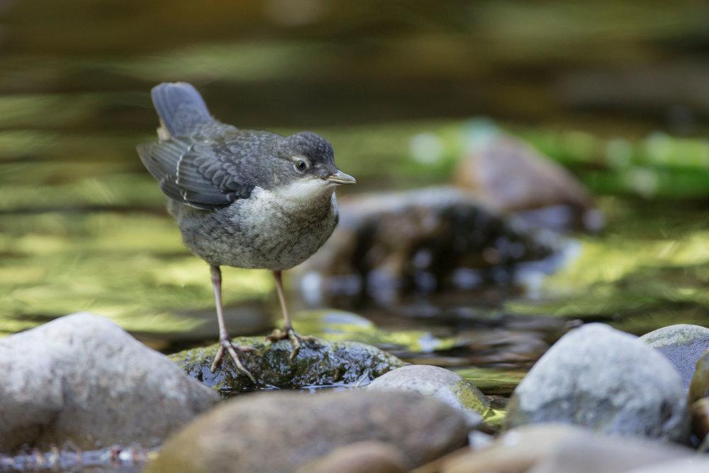 Juvenile Dipper