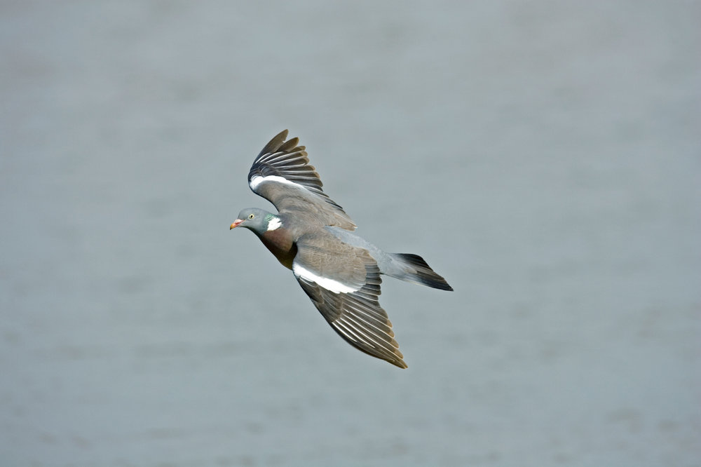 Flying Woodpigeon