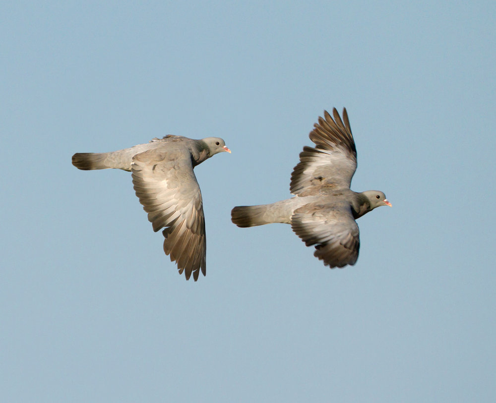 Flying Stock Dove