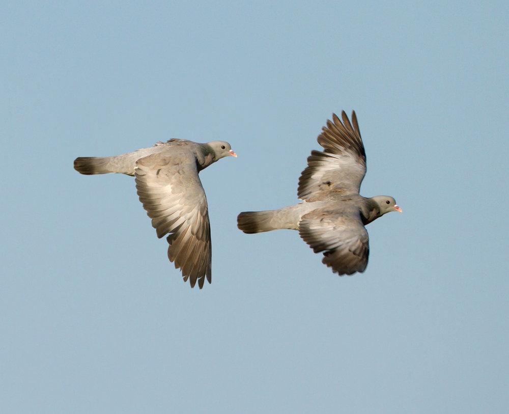 Flying Stock Dove