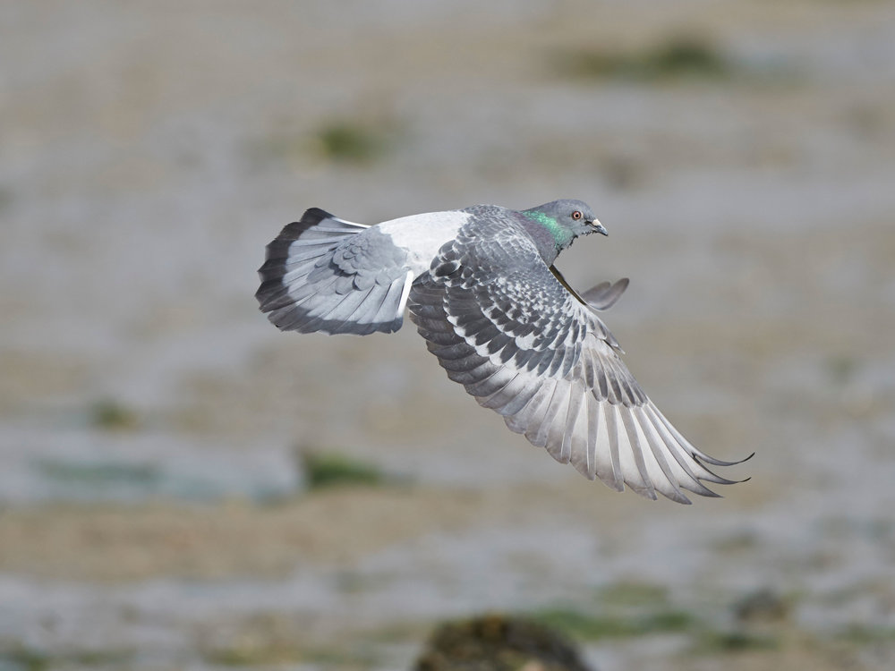 Flying Feral Pigeon