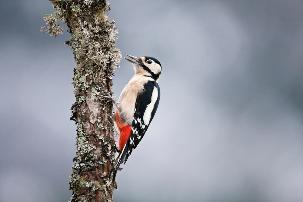 Great Spotted Woodpecker. Note this is an adult female, as told by the lack of red on the nape (which males have). Juveniles have red crowns