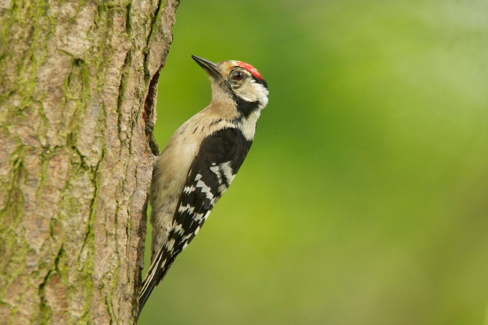 Adult male Lesser Spotted Woodpecker (females have white not red, forecrowns)