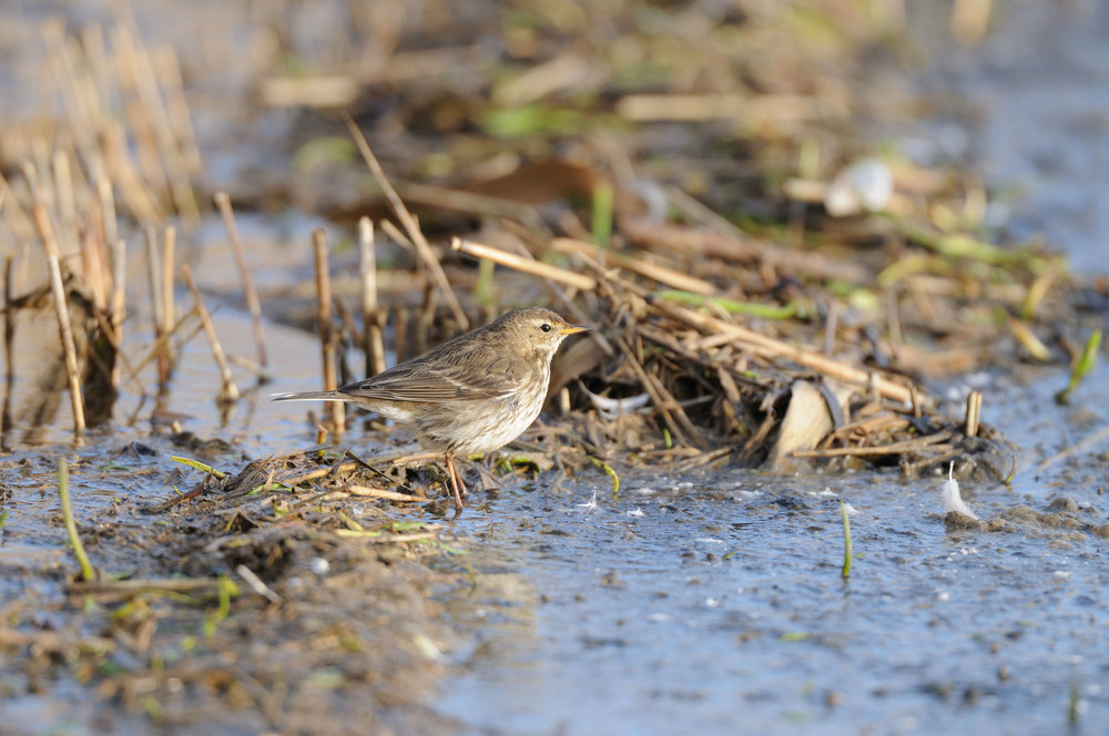 Water Pipit (winter plumage)