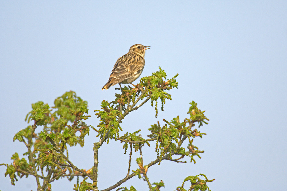 Singing Wood Lark
