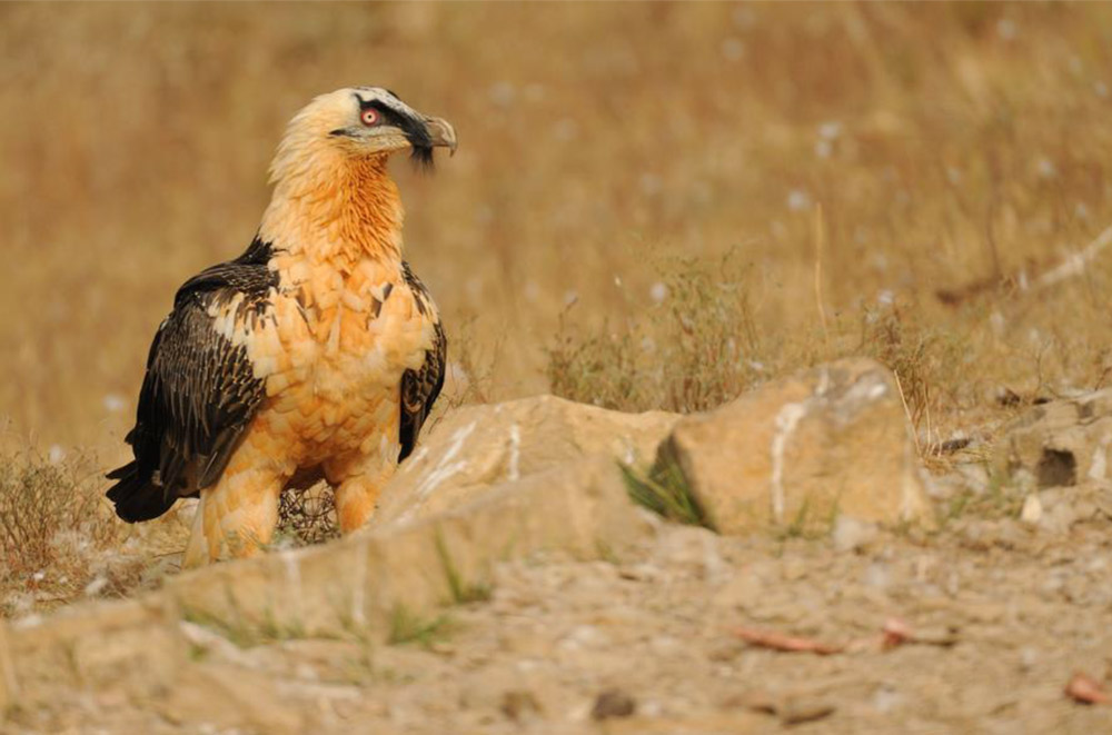 bearded vulture or lammergeier photo credit Boletas Birdwatching Centre