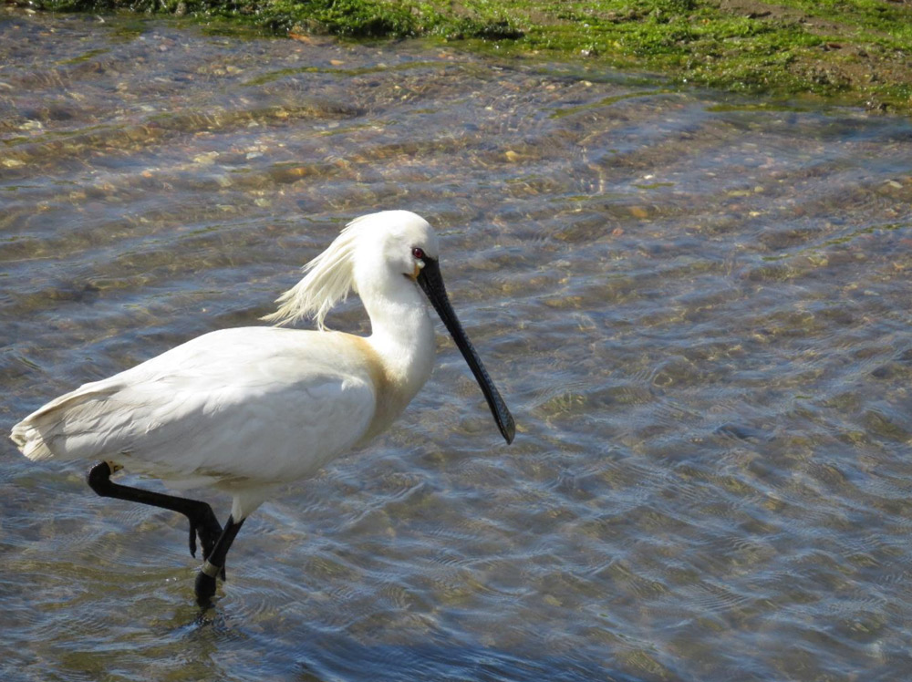 Eurasian spoonbill photo credit Wild Donana