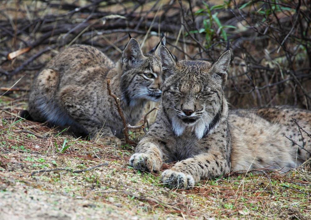 Iberian lynx photo credit Iberian Lynx Land