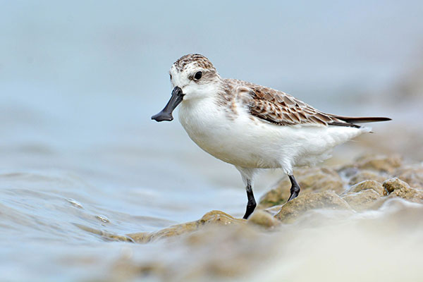 Spoon-billed-sandpiper_2_preview.jpg