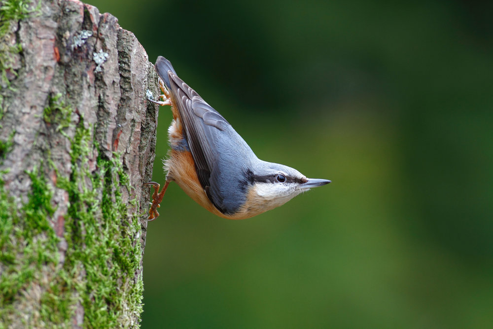 Nuthatch in typical upside-down mode