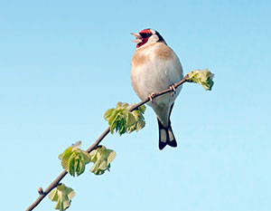Goldfinch by Lisa Geoghegan/Alamy
