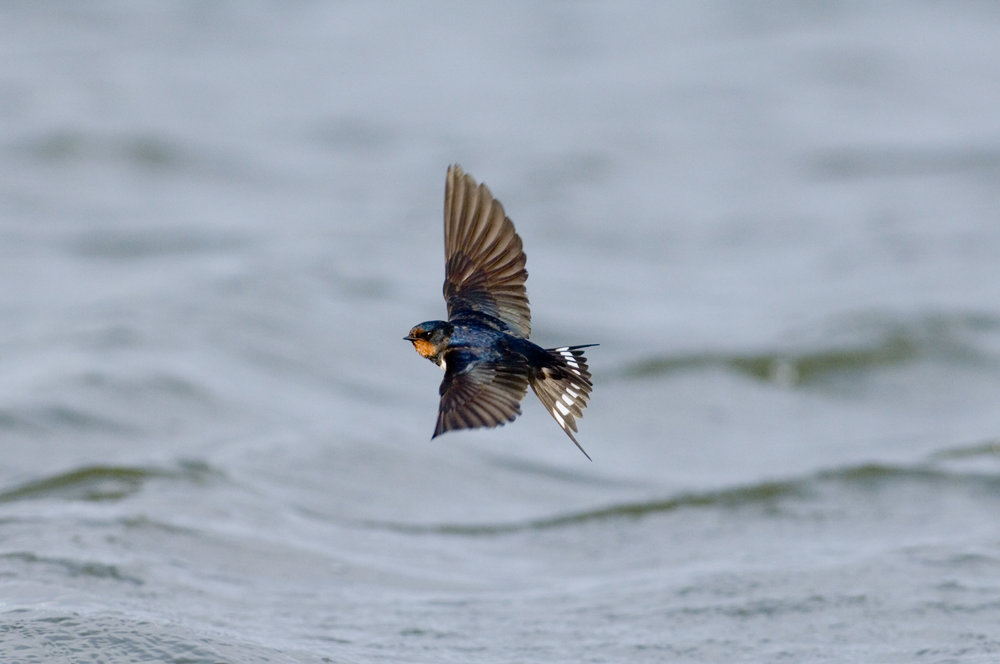 Swallow; note the glossy blue-back upperparts, white spots on the base of the tail and the long 'streamers'