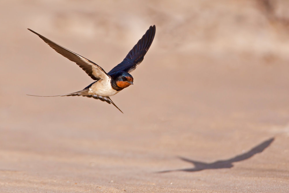 Swallow showing red throat, dark breast band and pale underparts