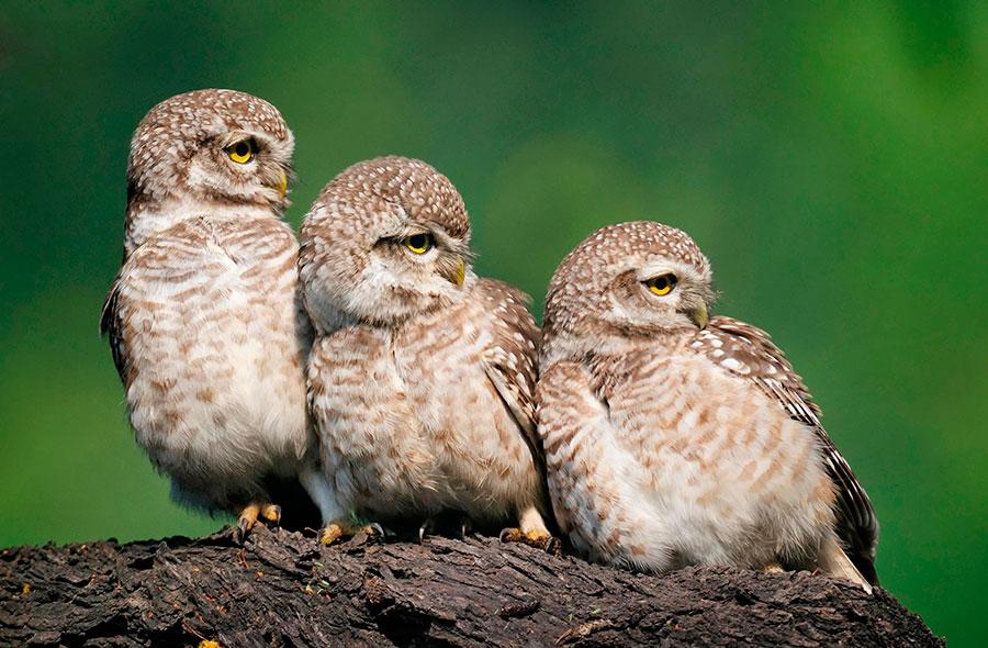 Spotted Owlets by Ganesh H Shankar/Alamy