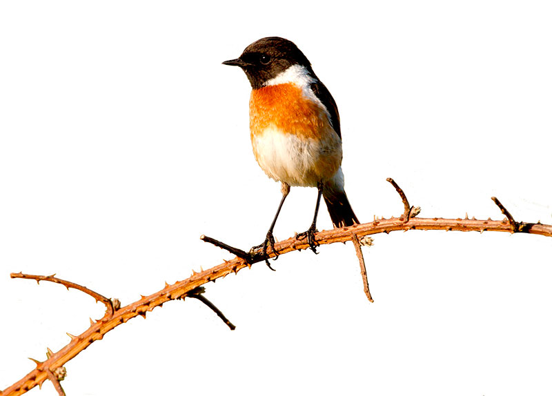 Stonechat Mike Lane/Alamy