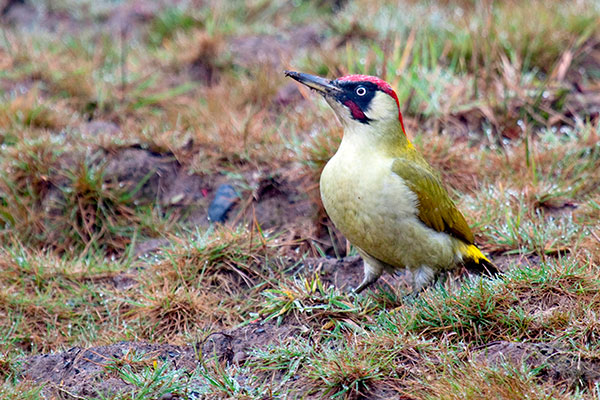 Green Woodpecker Nik Goulthorp/Alamy