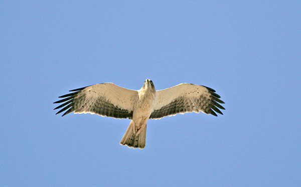 Pale-morph Booted Eagle - blickwinkel/Alamy