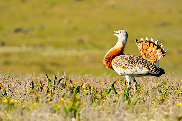 Male Great Bustard - imageBROKER/Alamy