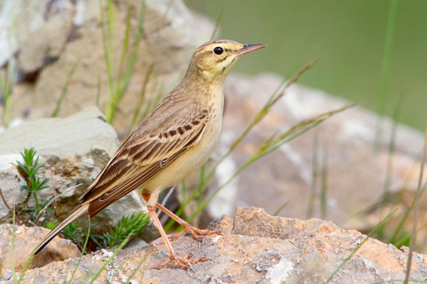 Tawny Pipit - Saverio Gatto/Alamy